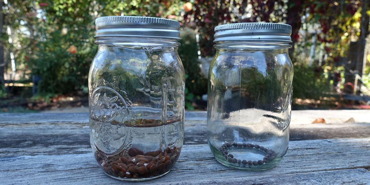 Soaking and Dry Sweet Pea Seeds