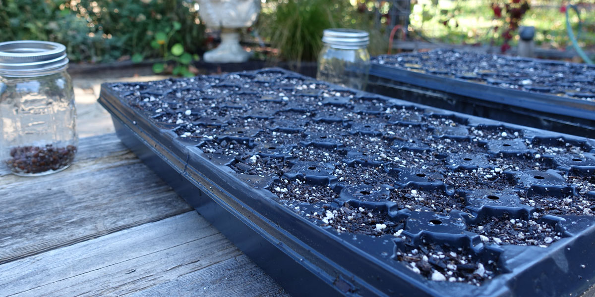 Two seed trays were filled with potting soil.