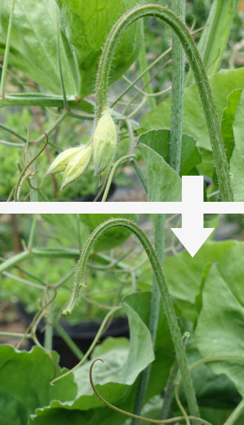 Sweet Pea Bud Drop Before and After