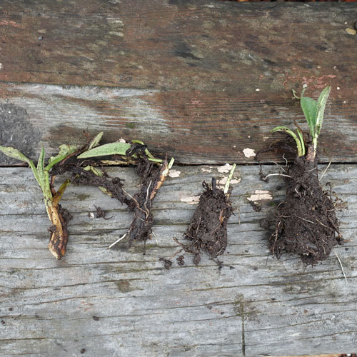 Divide the comfrey root