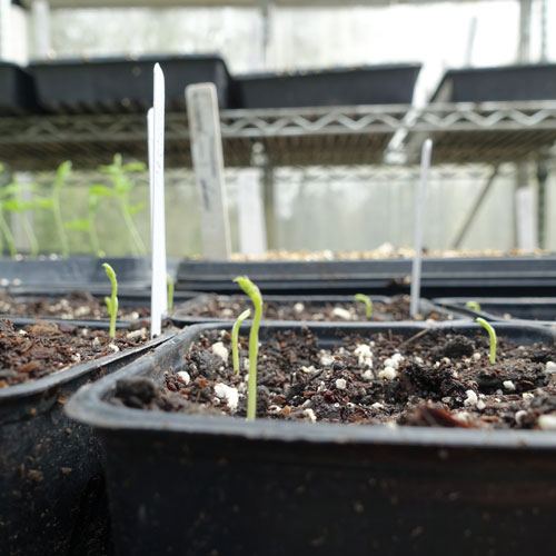 Sweet Pea Grow Along: Week 2