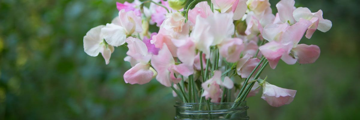 Sweet Pea Flower Frequently Asked Questions