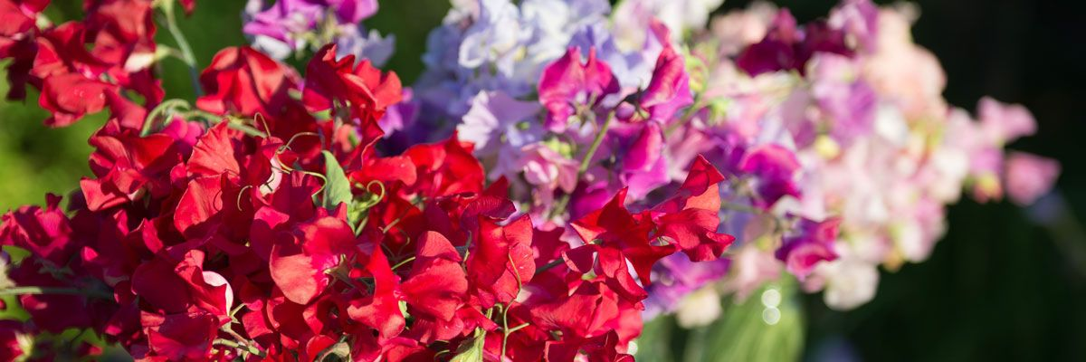 The Most Fragrant Sweet Peas