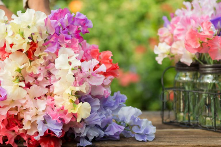 Sweet Peas Sow Grow And Care For Sweet Pea Flowers