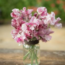 Chocolate Flake Sweet Pea